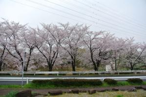 2013年3月お花見 001