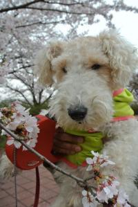 2013年3月お花見 051