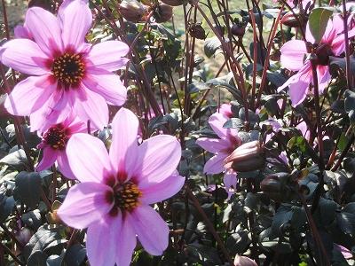 ダリヤの秋桜