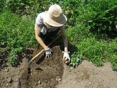 ジャガイモ掘って