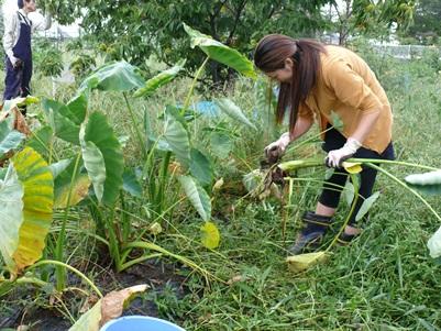 サトイモを掘って