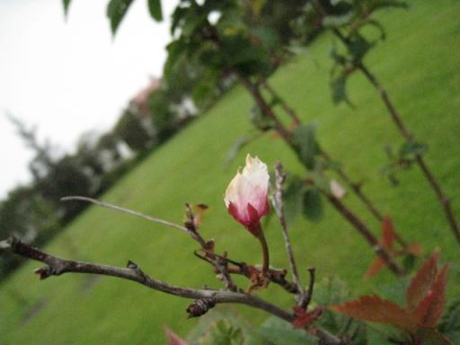 残り桜-tjornin