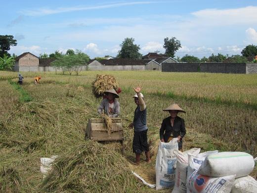 011稲の収穫・脱穀