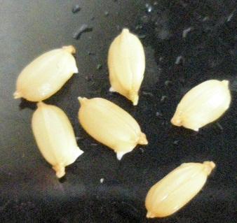 005芽だし 種籾