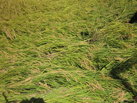 2013-9-19神社倒れた稲