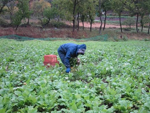 2013-10-26雨の収穫