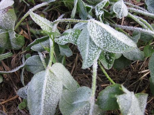 2013-11-6霜が降りました