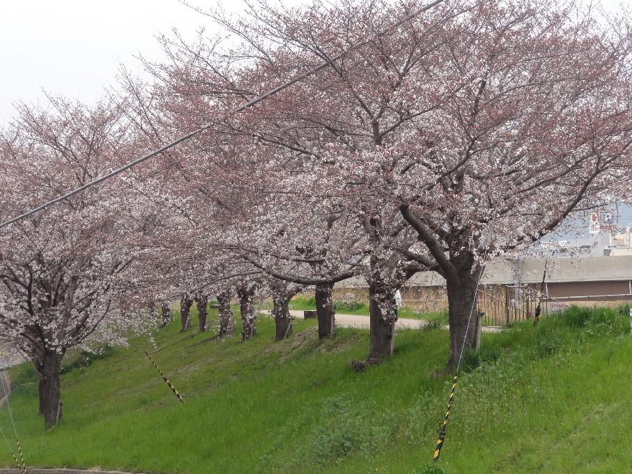 枚方桜_2