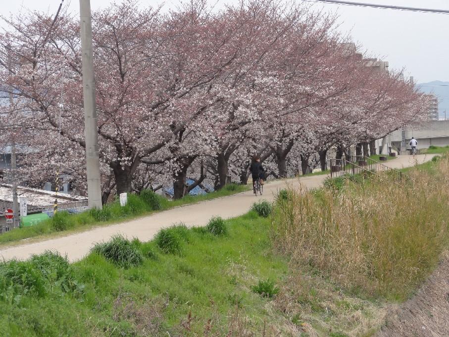 枚方桜_1