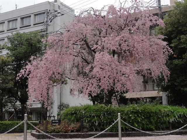 DSC04364ぶろぐ岡東桜