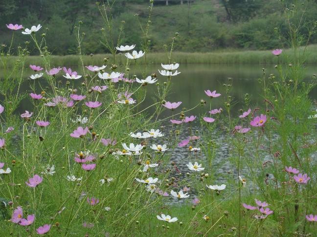 ①池の傍のコスモスDSC04942