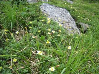 4高山植物チングルマ