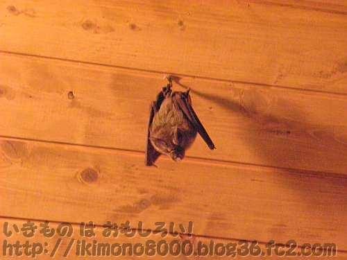 環境に配慮したトイレの天井にぶら下がっていたコウモリ