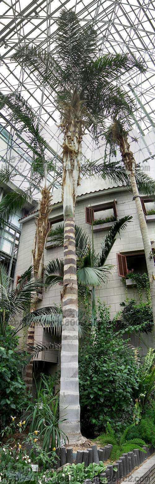 天王寺公園の植物温室の女王椰子(2012年9月)