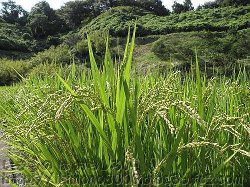 穂が垂れ始めていた9月初旬の下赤阪の棚田の稲