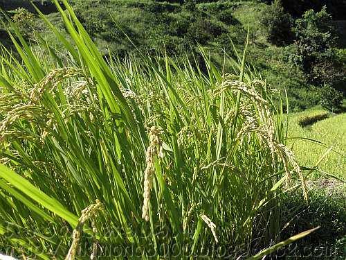 頭を垂れる9月中旬の下赤阪の棚田の稲穂