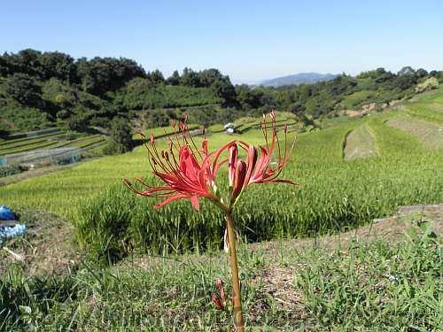 ヒガンバナと9月の下赤阪の棚田
