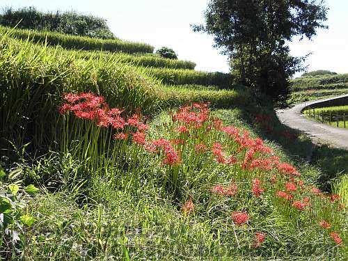 ヒガンバナが咲く9月の下赤阪の棚田