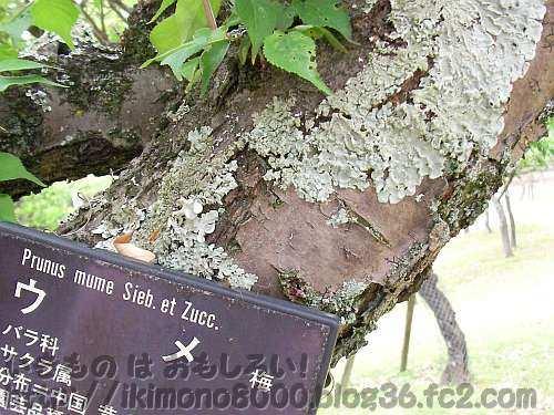 梅の木についている奈良公園のウメノキゴケ