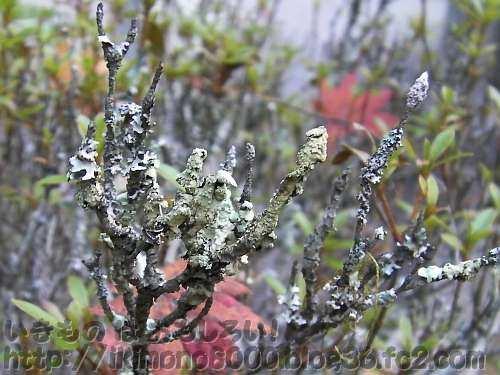 ツツジの小枝を枯らしているように見える高野山のウメノキゴケの仲間