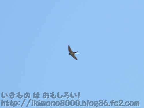 空を舞う「玄鳥去」頃のツバメ