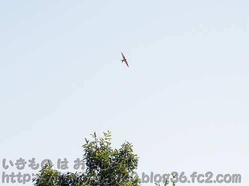 「玄鳥去」頃の下赤阪の棚田の上を舞うツバメ