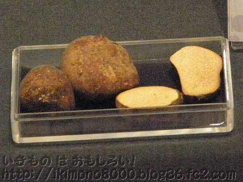 たとえば海岸の松林に生えるキノコのショウロも展示されています