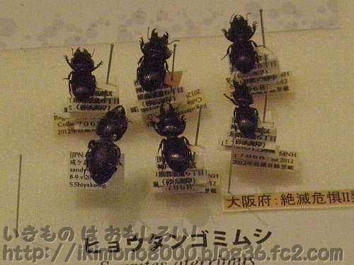 ヒョウタンゴミムシの標本