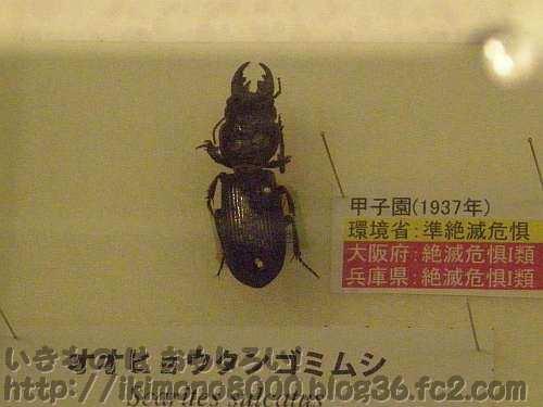 80年前のオオヒョウタンゴミムシ
