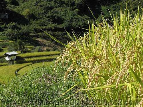 黄色くなった穂が垂れている下赤阪の棚田の稲
