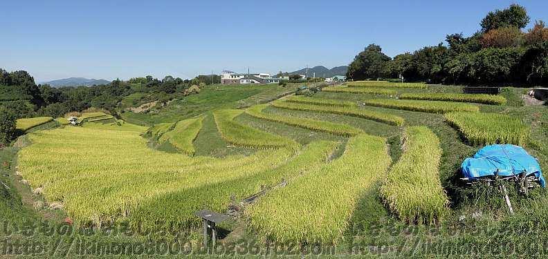 登熟が進んでいる9月下旬の下赤阪の棚田
