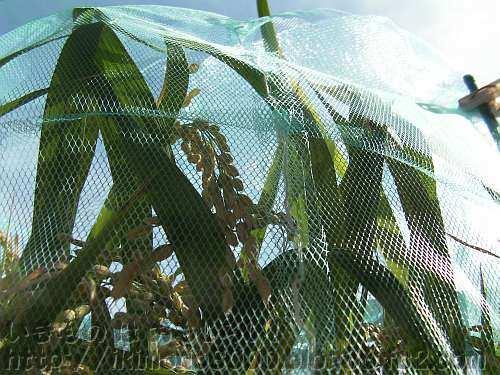 三角コーナーネットで防御したプランター稲