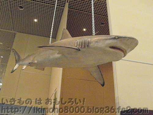 天井から下るサメ