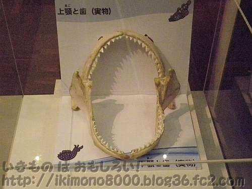 ドタブカの顎の実物