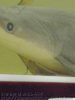 """サメの""""へその緒"""""""