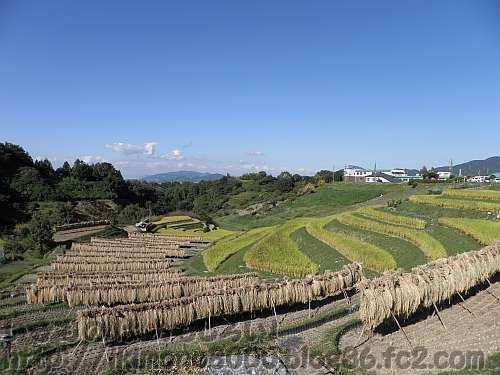 稲刈りが終わった田んぼのとなりにはまだ黄金色の稲穂