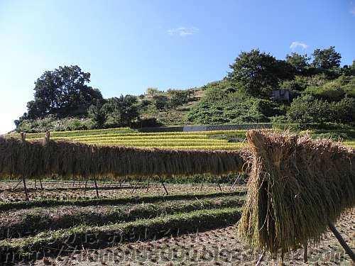 稲木に垂れる刈り取られたばかりの稲