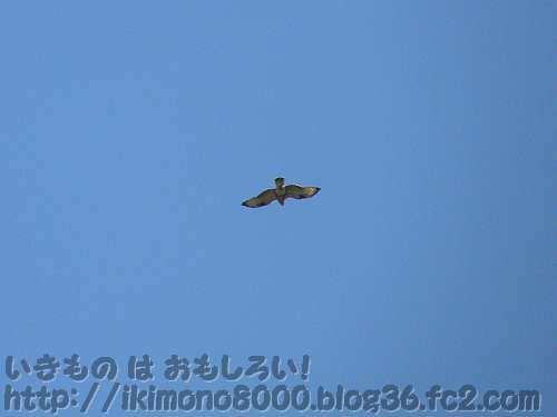 棚田の空を舞う猛禽と思われる鳥
