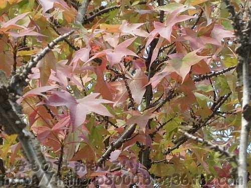 モミジのように葉が分かれていますが葉の縁がまっすぐなのでなんとなく違和感がある葉