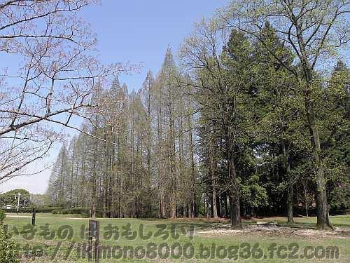 大阪市立大学理学部附属植物園のメタセコイアとセコイア