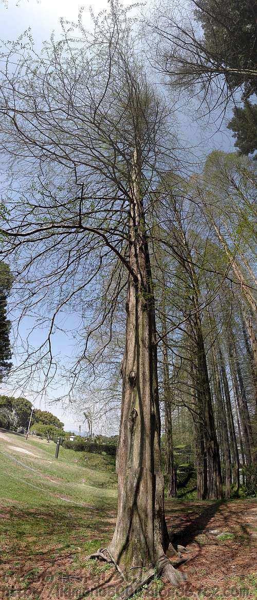 外国産針葉樹木園のメタセコイア(2013年4月)