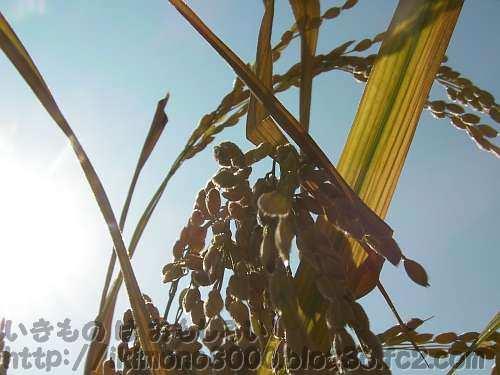 稲切り前のプランター稲