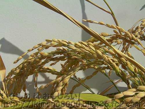垂れるプランター稲の稲穂