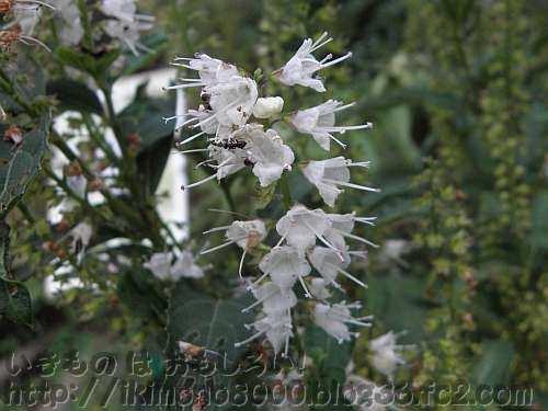シモバシラの花(花の文化園)