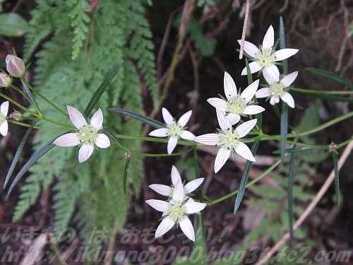 白くて短剣のような花弁の野草