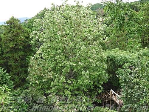 見下ろしても大きい四季彩館のウッドデッキの朴の木