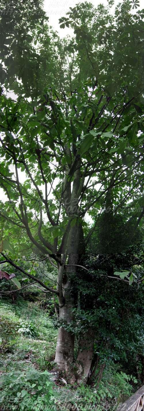 岩湧山の岩湧寺の四季彩館のウッドデッキの朴の木(2014年10月)