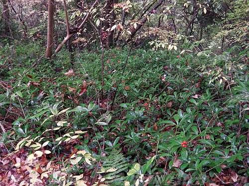林床に広がる赤い実の小さな木