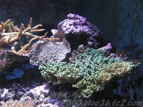 二酸化炭素を間接的に取り除いてくれるサンゴ-和歌山県立自然博物館