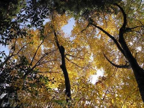 カナクギノキ(鉄釘の木)